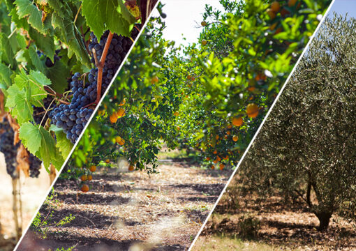 Current status and recommendations for the month of June regarding vineyards, fruit trees and olive trees